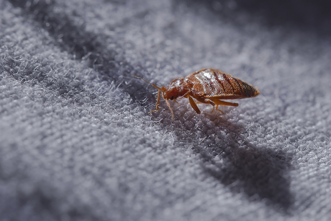 Bed Bug Mite